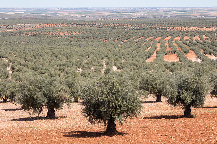 Aceite de oliva - campos de olivos
