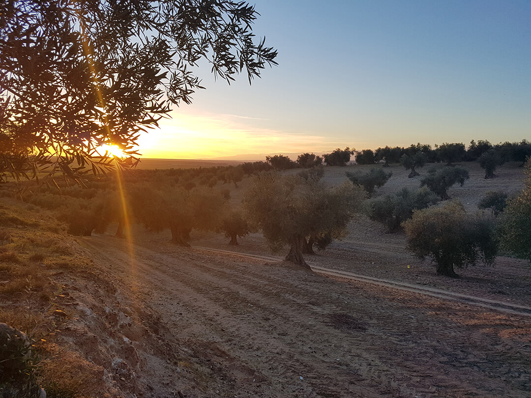 Olive oil from Montes de Toledo - Olive grove