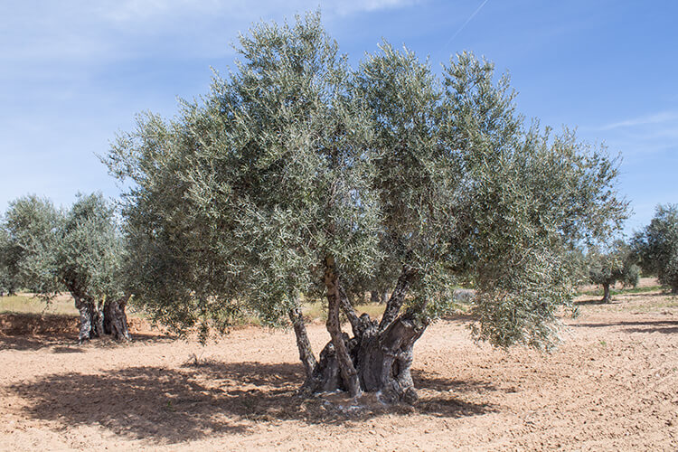 Centennial olive tree - olive oil of Montes de Toledo
