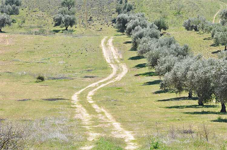 Path of olive trees - olive oil of Montes de Toledo