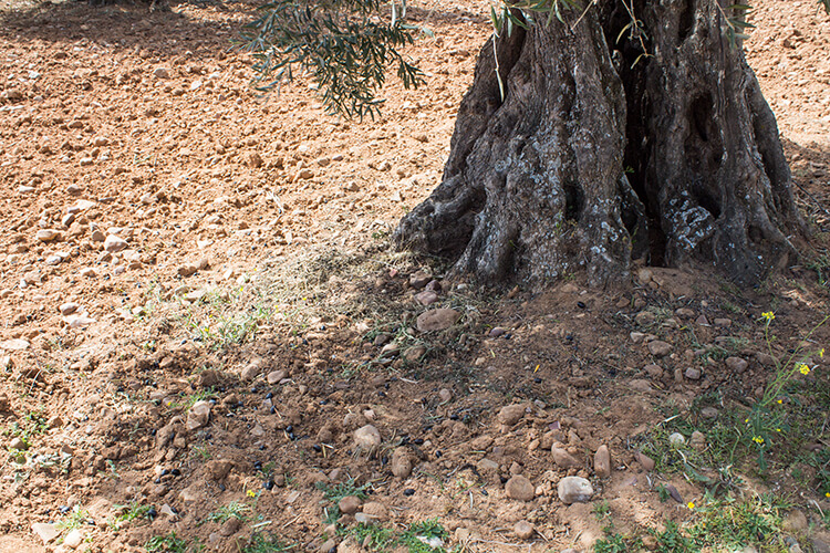 Olive tree trunk - olive oil of Montes de Toledo